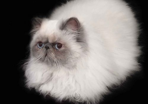 Blue Point Himalayan Persian Cat For Sale