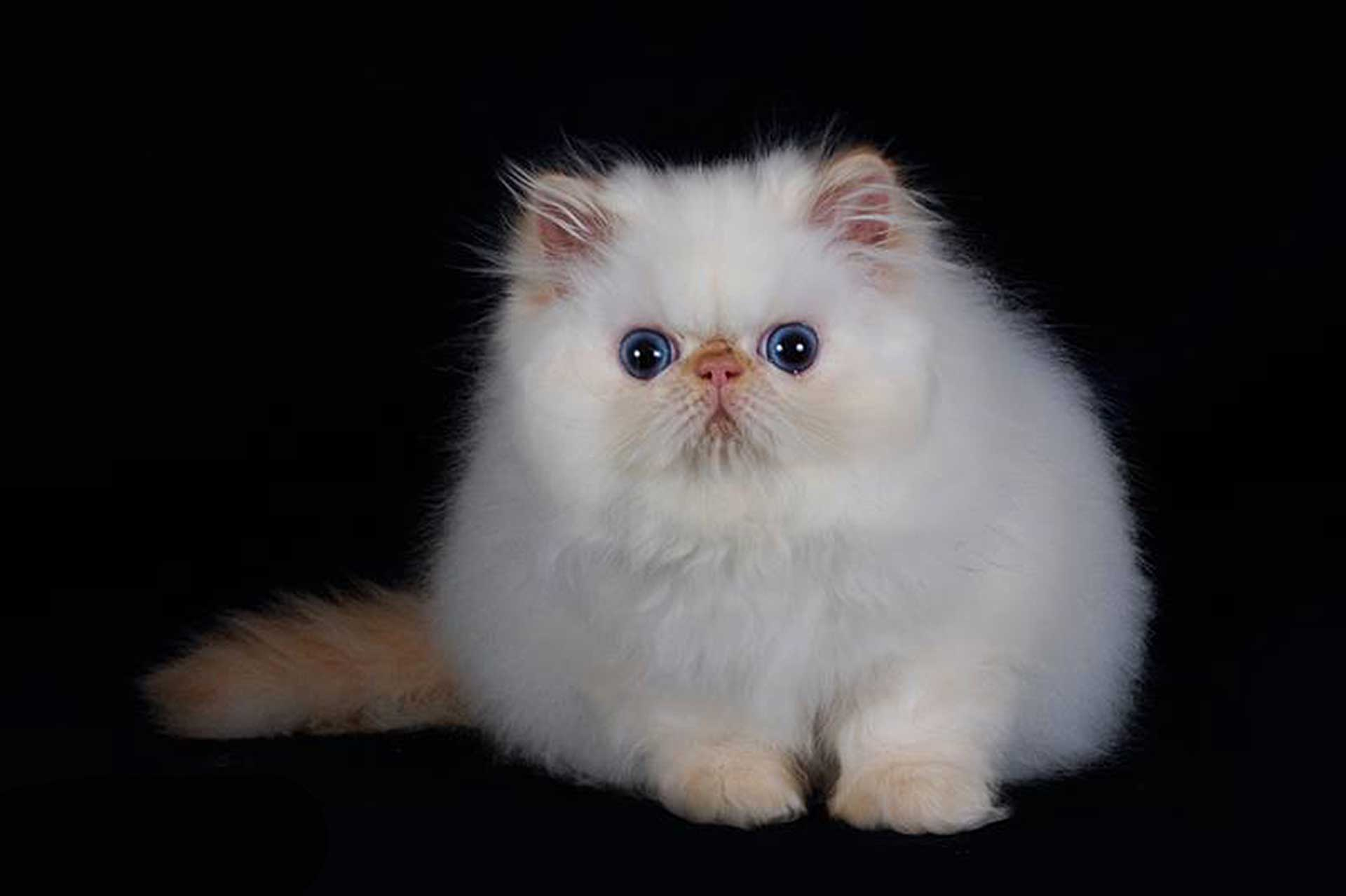 Flame Point Himalayan Persian