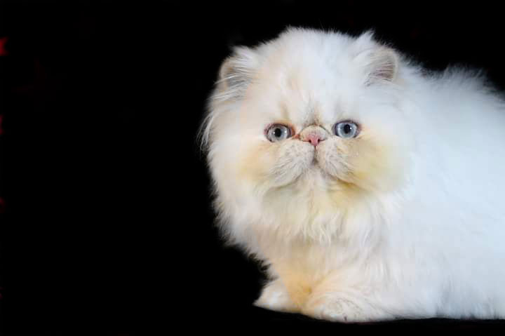 Cream Point Himalayan Persian Kitten