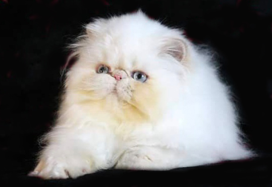 Cream Point Himalayan Persian Cat