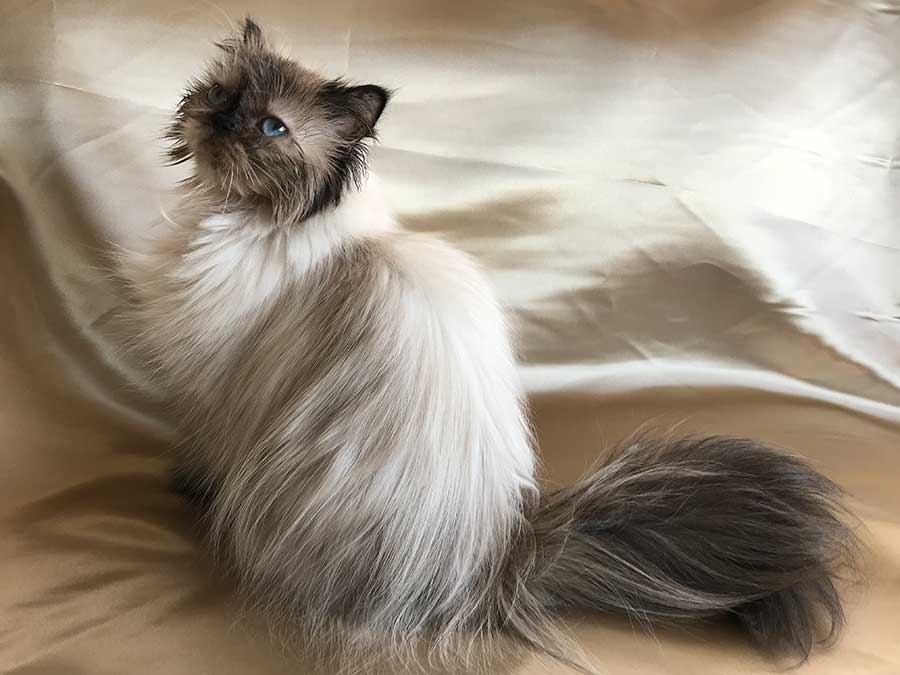 Chocolate Point Himalayan Persian Cat For Sale
