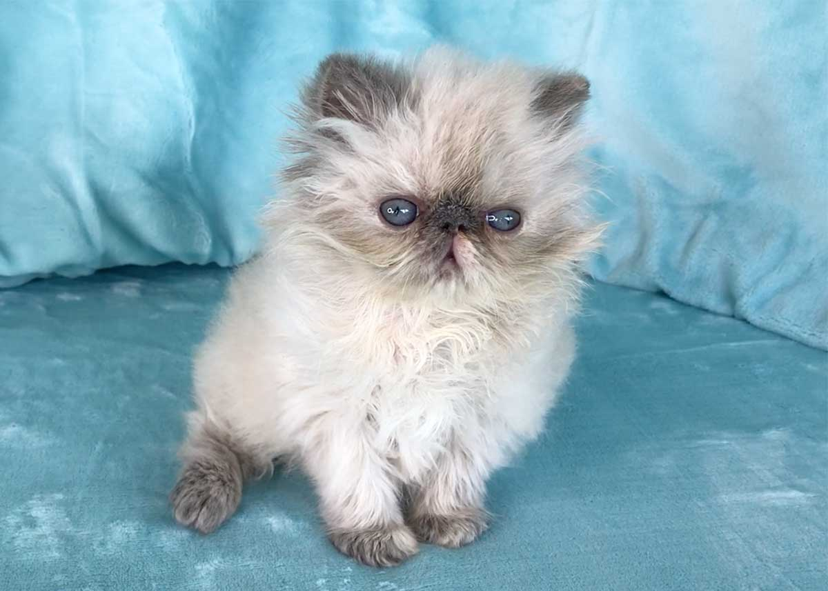 Cream Point Himalayan Persian Kitten for sale in Los Angeles