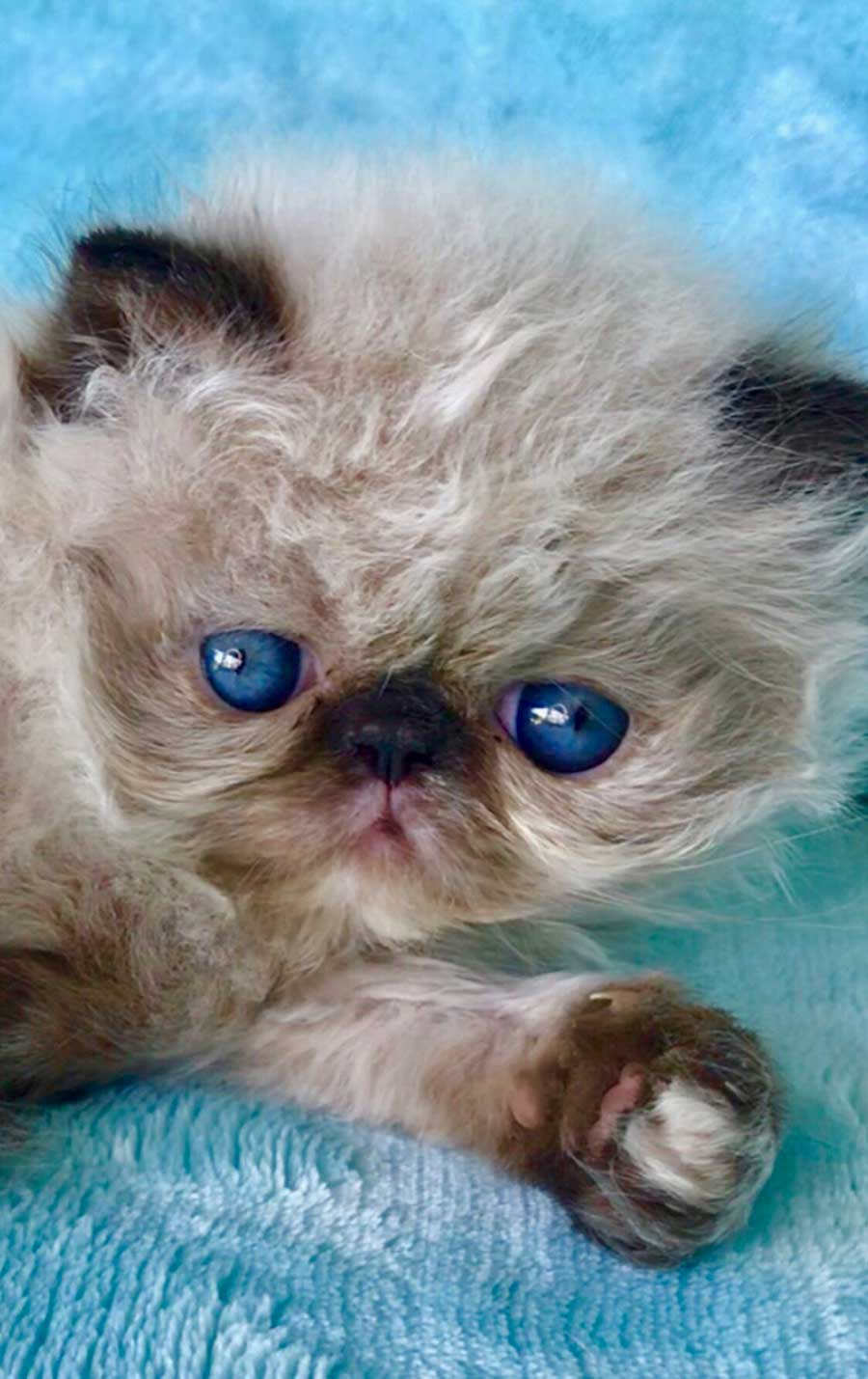 Lynx Point Himalayan Persian Kitten for sale in Los Angeles