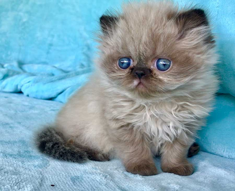 Seal Torte Himalayan Persian Kitten for sale in Los Angeles