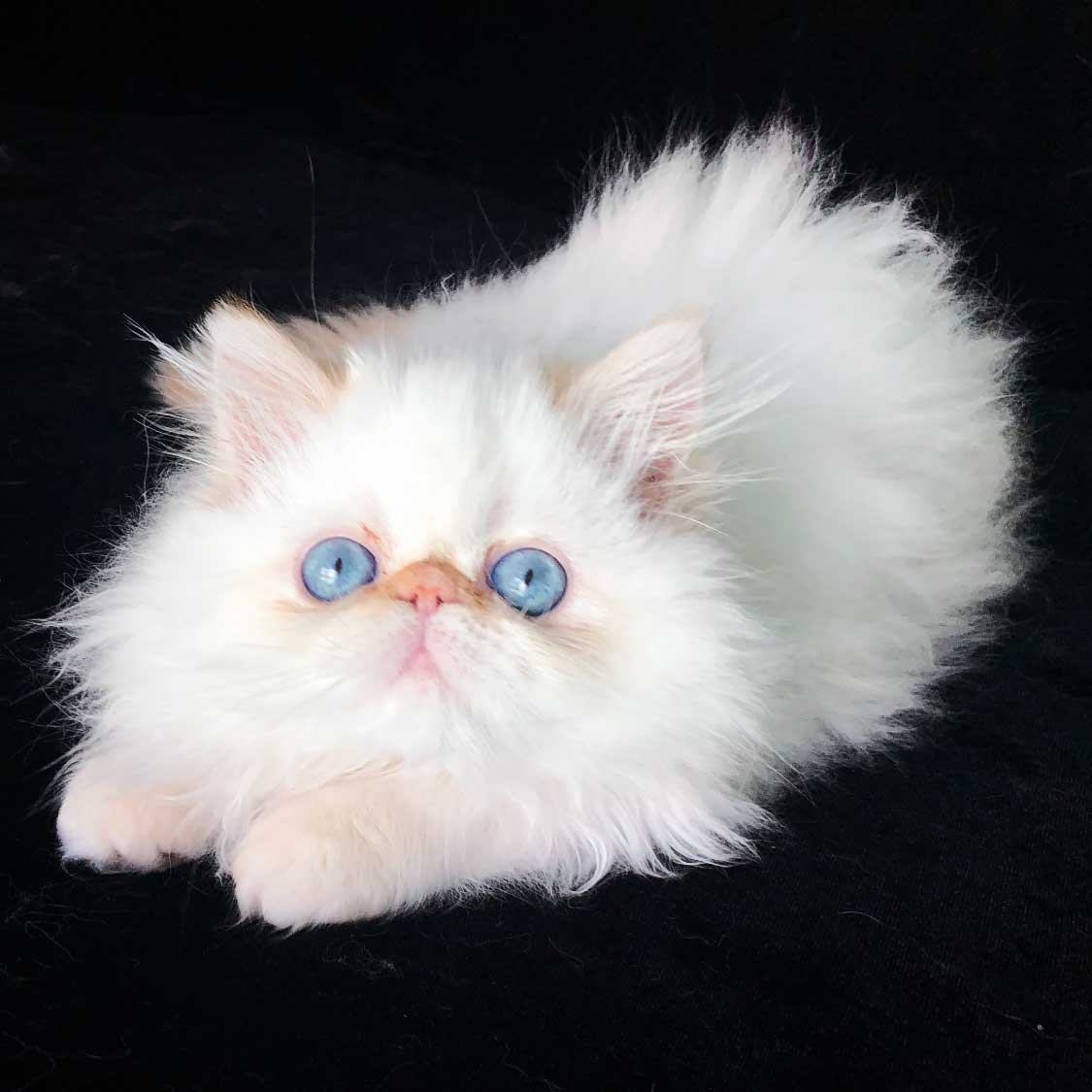 Bogie Kingsley - Flame Point Himalayan Persian