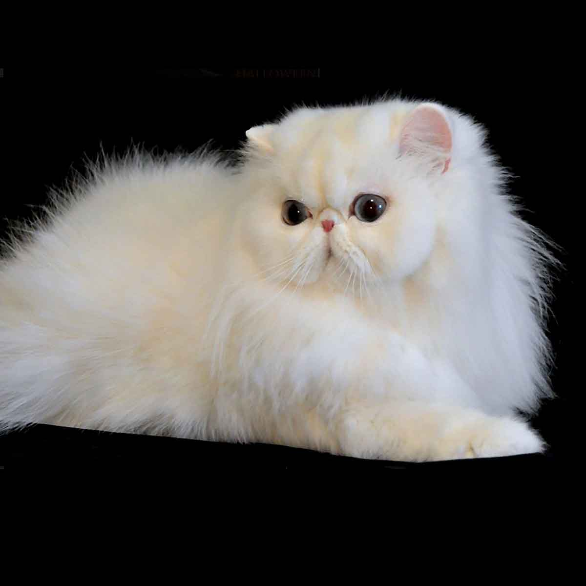 Glitter Julietta White Persian CPC
