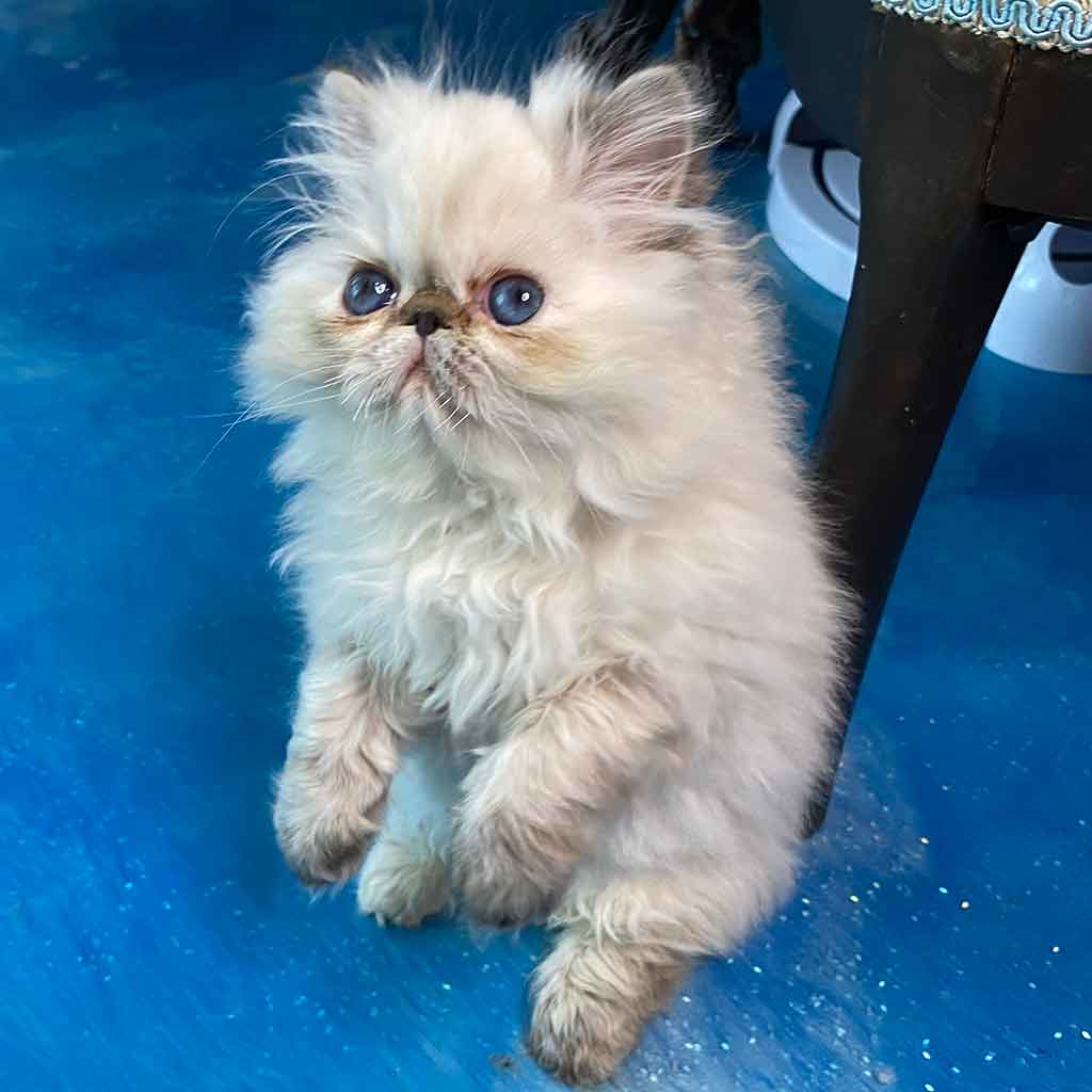 Kingsley Big Bang Buckie Seal Point Himalayan Persian Kitten