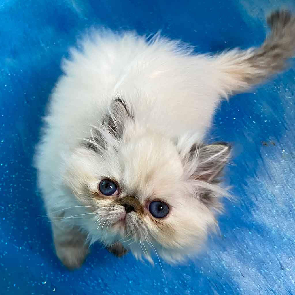 Kingsley Blueberry Seal Lynx Point Himalayan Persian Kitten