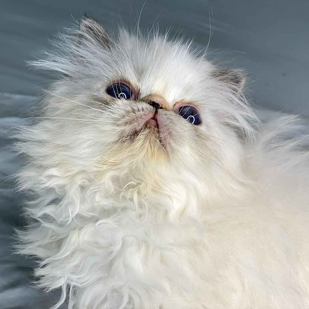 Kingsley Bunny Seal Lynx Point Himalayan Persian Kitten