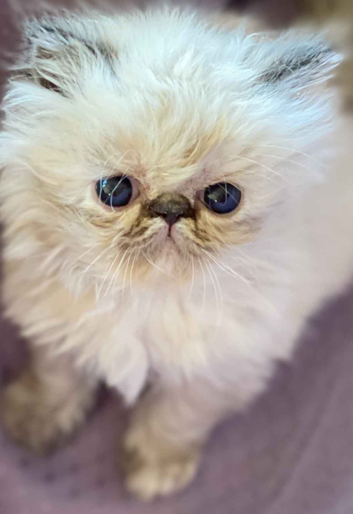 Kingsley Princess Anabelle Seal Lynx Point Himalayan Persian Kitten