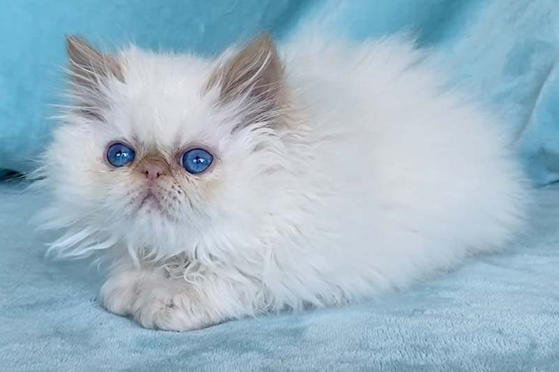 Kingsley Alfie Cream Point Himalayan Persian Kitten