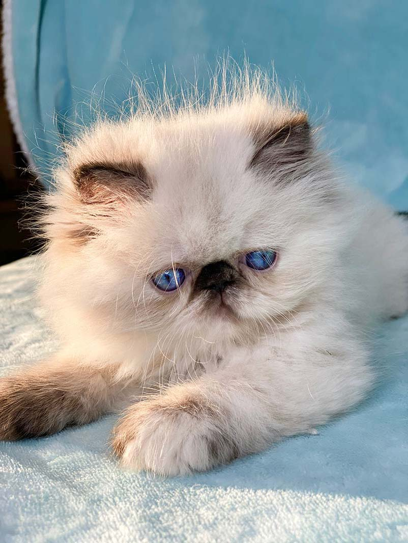 Kingsley Heavenly Blue Seal Torte Himalayan Persian Kitten