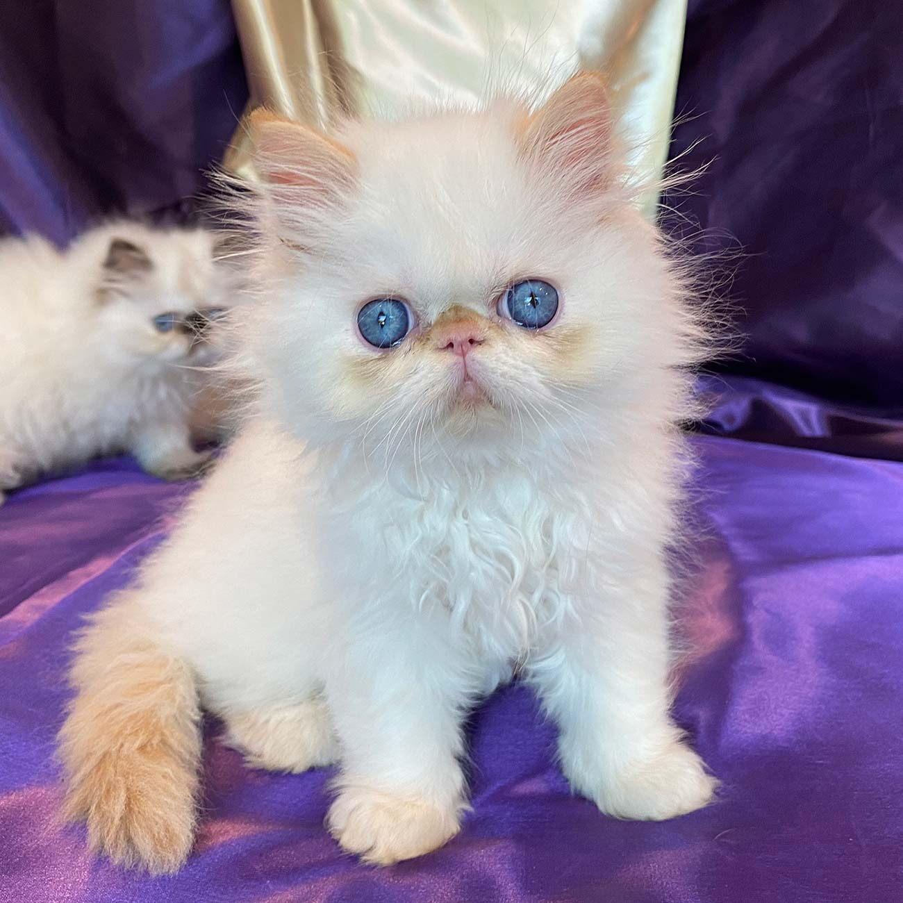 Kingsley Gabriel Flame Point Himalayan Persian Kitten