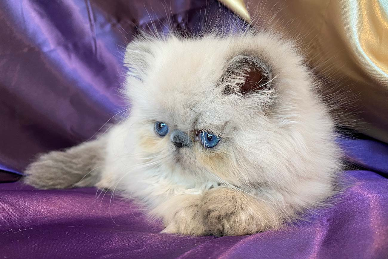 Kingsley Rumi Blue Point Himalayan Persian Kitten