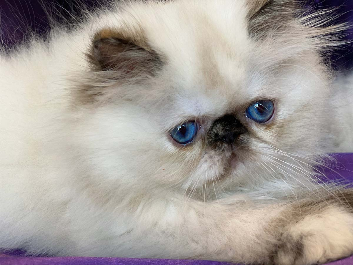 Heavenly Blue - Himalayan Persian Kittens for sale in San Francisco