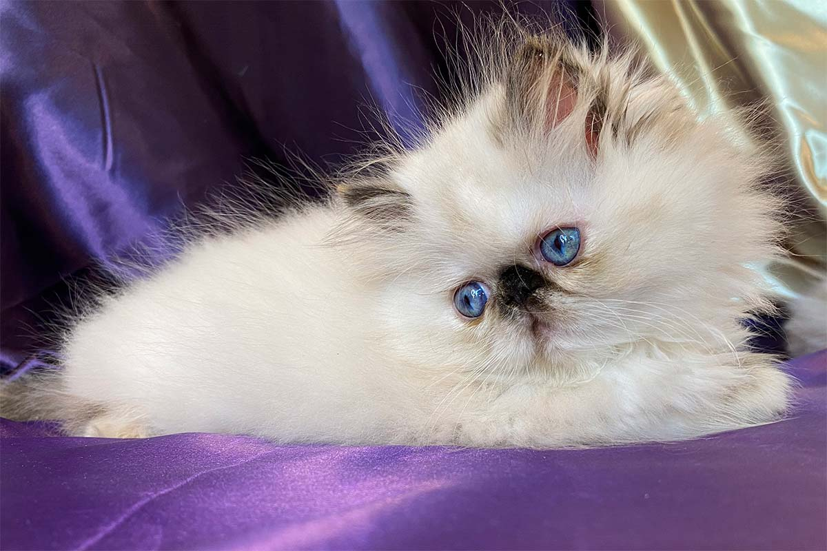 Heavenly Blue - Persian Cat for sale in Bay Area