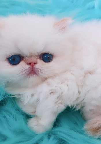 HIMALAYAN PERSIAN KITTENS FOR SALE IN LOS ANGELES - Kingsley